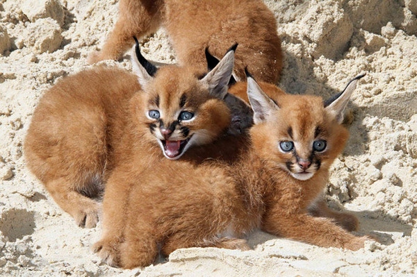 カラカルの画像!麻呂眉と耳の房毛が特徴的なネコ科動物 (11)