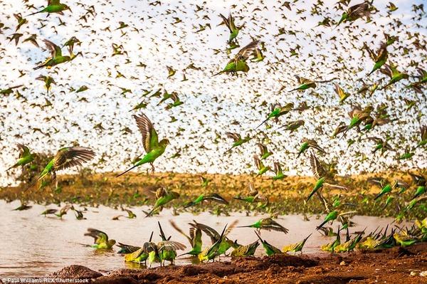 8万羽のセキセイインコの群れをオーストラリアの内陸で観測! (2)