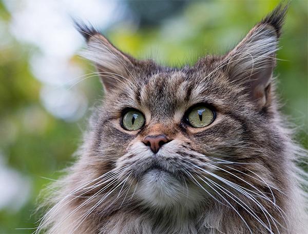 でかすぎる!大型のイエネコ長毛種メインクーン画像【猫】 (48)