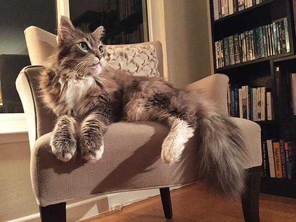 とても大きい猫の画像 17