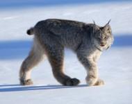 大きい猫はお好き?ネコ科に属する大型肉食獣を紹介!