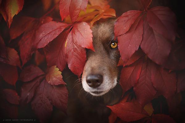 秋が来た!紅葉と遊ぶ犬画像 (15)