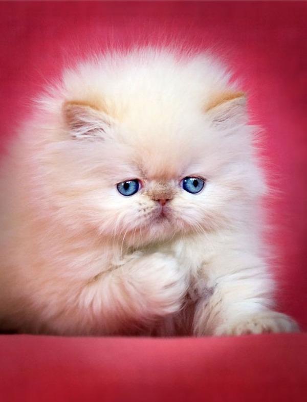 綿菓子フワフワ!モフモフしたくなる長毛種の猫画像 (11)