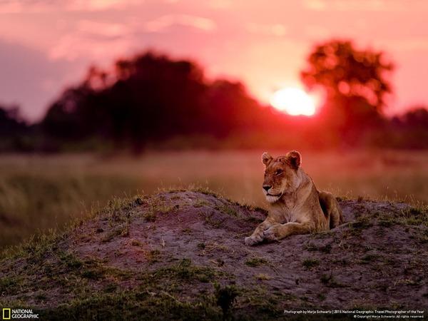 Lioness @ Sunset