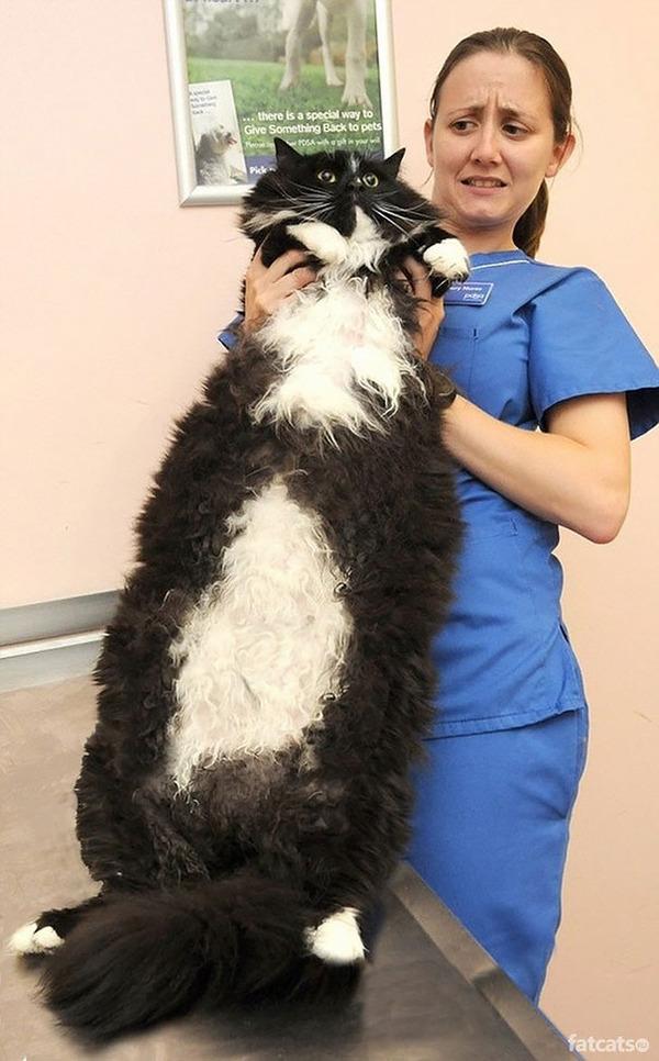 とても大きい猫の画像 12