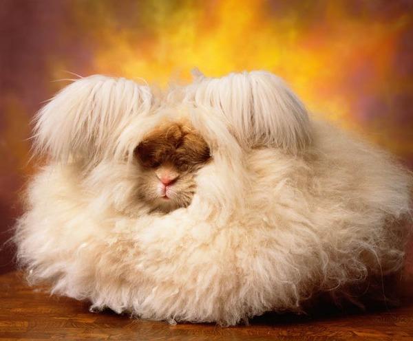 可愛いアンゴラウサギの画像