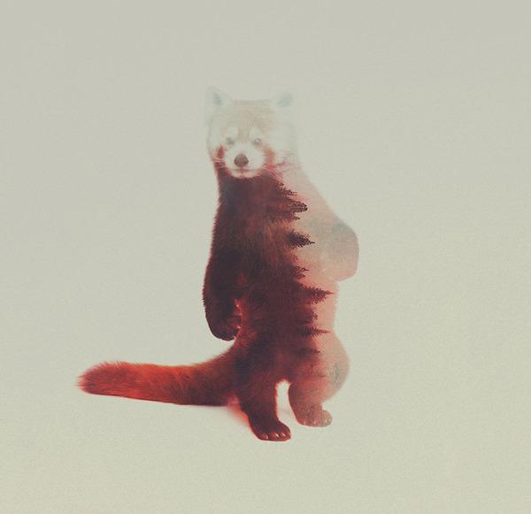 アライグマの二重露光写真byアンドレアス・リー