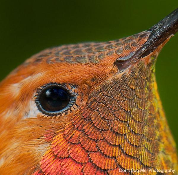 ハチドリ、可愛い、美しい小鳥の写真 (5)