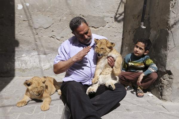 珍しいペット特集 ライオン,ガザ