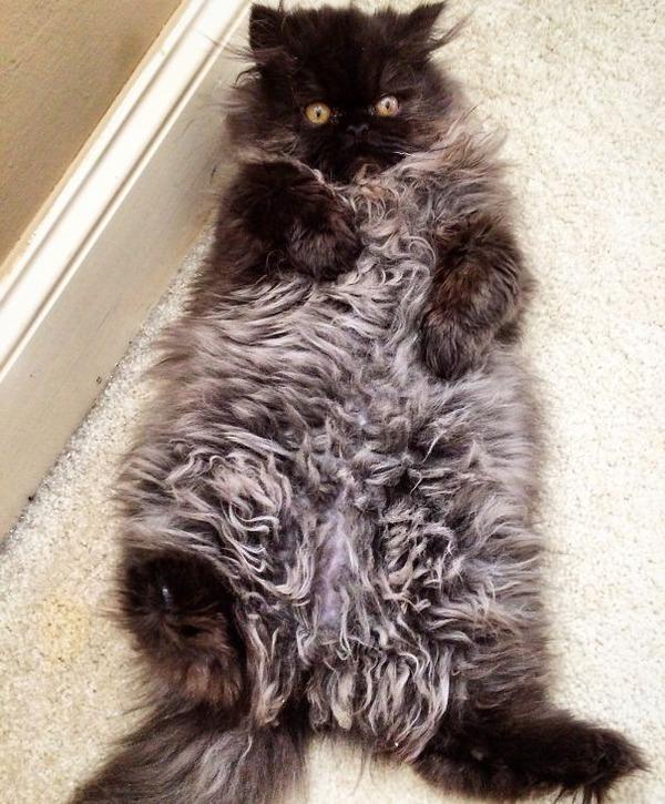 綿菓子フワフワ!モフモフしたくなる長毛種の猫画像 (45)