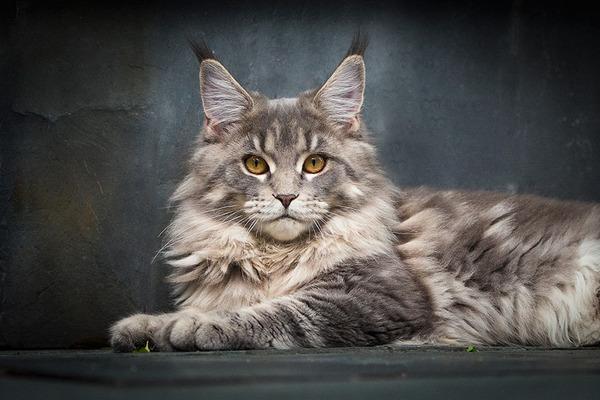 メインクーン画像!気品ある毛並みに威厳ある風貌の猫 (17)