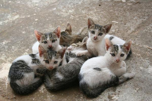 雌猫は、四ヶ月毎に3匹から7匹の子猫を産む
