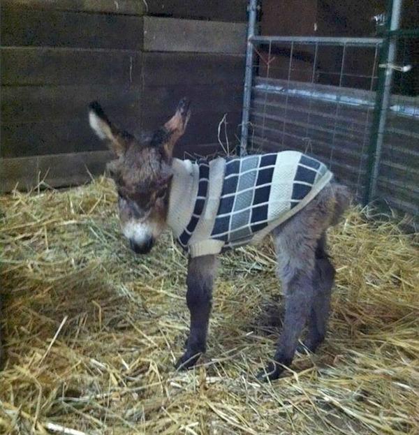 寒いからニットのセーターを小動物に着せてみた画像 (28)