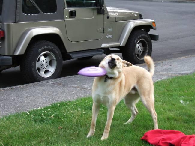 フリスビーを失敗する犬