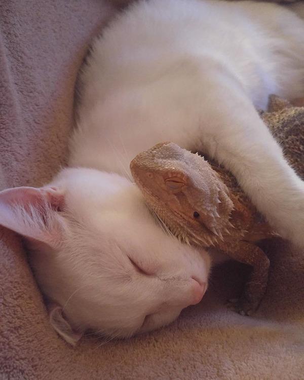 超仲良しなんだぜ!2匹は友達。ネコとフトアゴヒゲトカゲ (9)