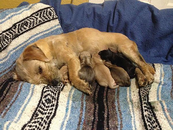 お母さん犬とその子犬達のソックリ集合写真!犬親子画像 (32)
