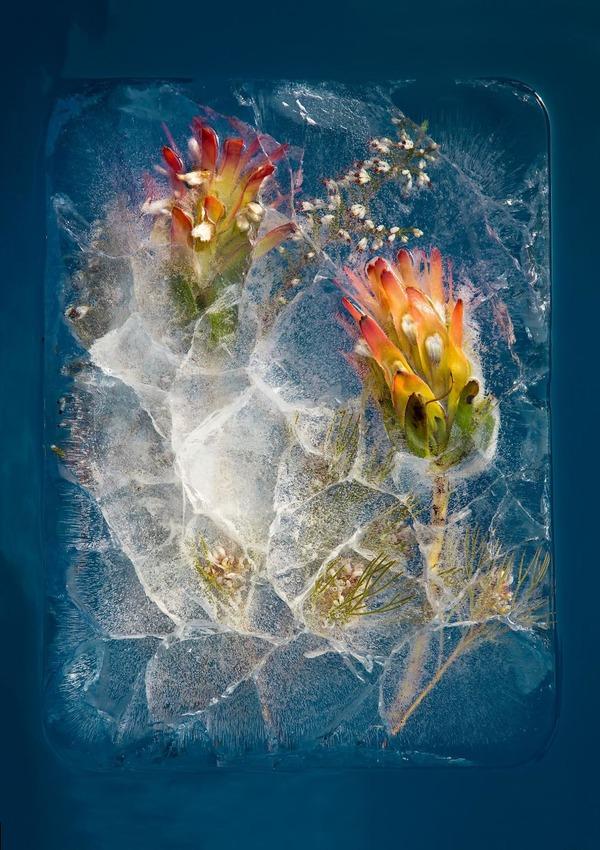 絵画的な美しさ。氷漬けになった花々の写真シリーズ (1)