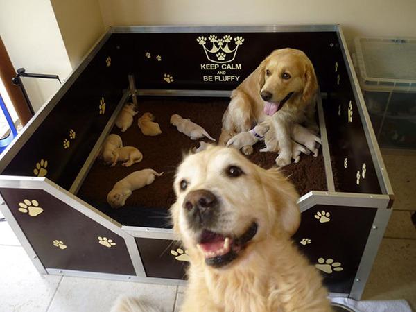 お母さん犬とその子犬達のソックリ集合写真!犬親子画像 (14)