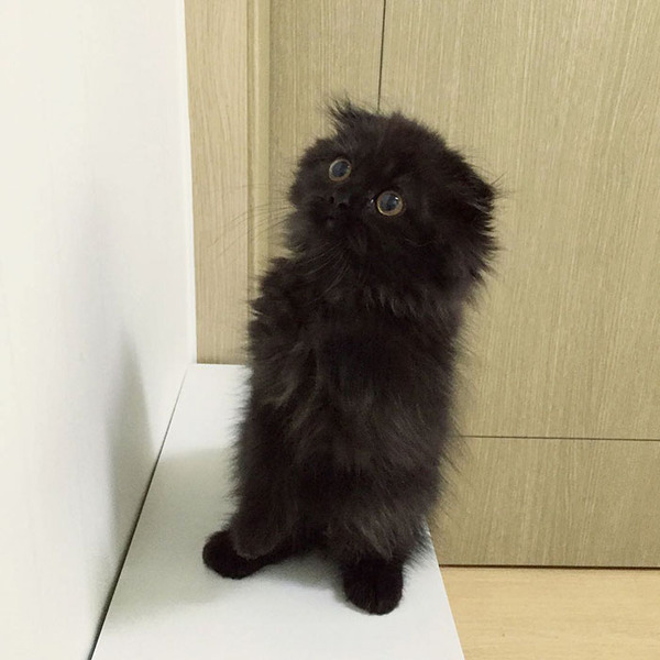 「まっくろくろすけ」みたいな黒猫画像!黒いモフモフ (10)