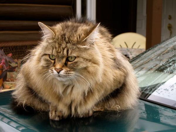 綿菓子フワフワ!モフモフしたくなる長毛種の猫画像 (54)