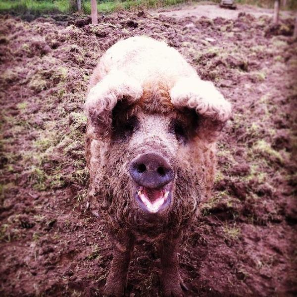 羊みたいな体毛を持った豚『マンガリッツァ』。モフモフ! (16)