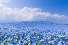 青の楽園、ネモフィラの花が美しい!inひたち海浜公園