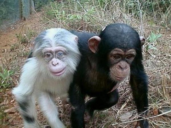 チンパンジーのアルビノ