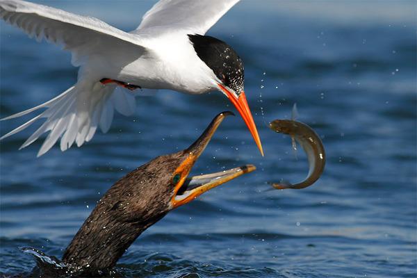 もう逃げられない…!鳥が魚をパックリ食べちゃう瞬間的画像 (2)