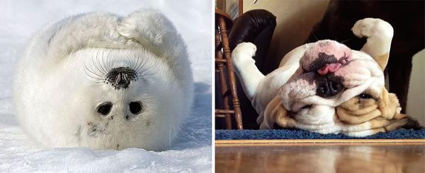 アザラシって犬そっくりじゃね?犬とアザラシを比較画像! (22)