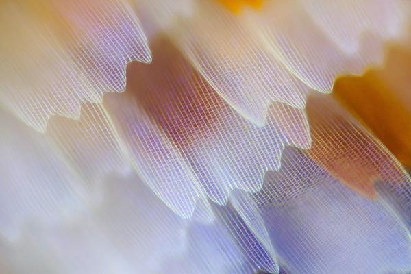 カラフルで美しすぎる!蝶の羽を拡大したマクロ写真 (12)