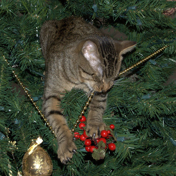猫、あらぶる!クリスマスツリーに登る猫画像 (29)