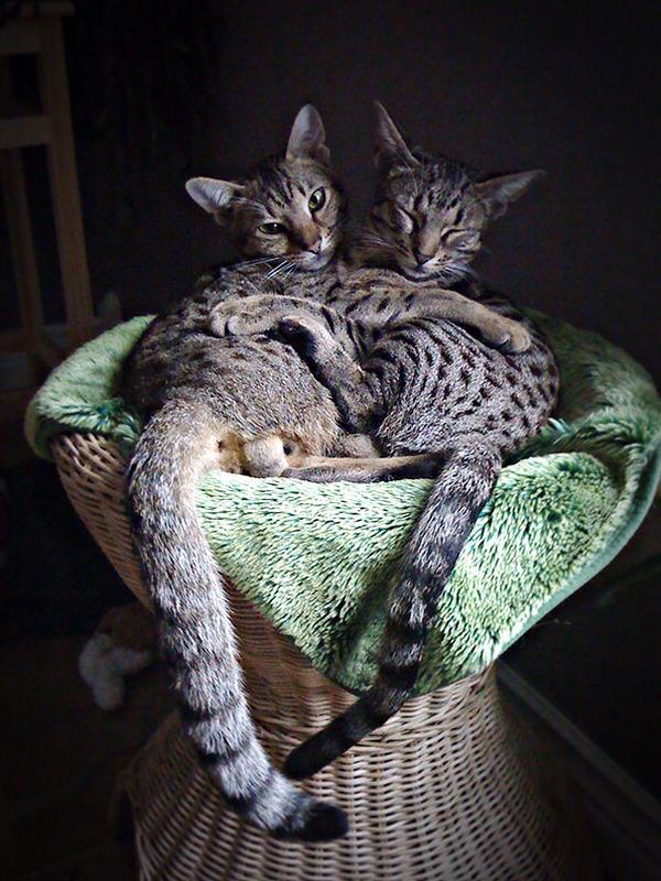 猫のバレンタインデー!【猫ラブラブ画像】 (27)