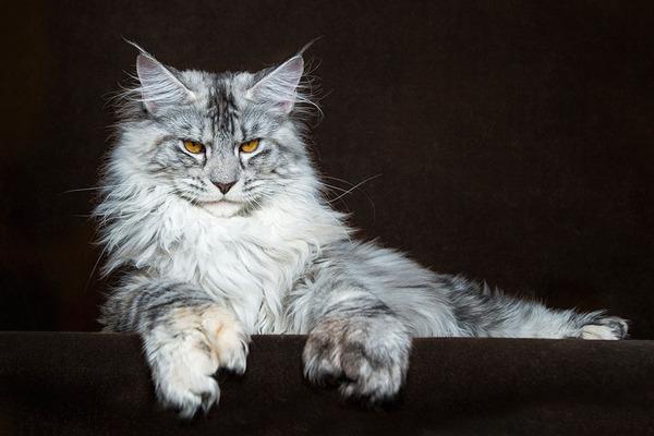 メインクーン画像!気品ある毛並みに威厳ある風貌の猫 (19)
