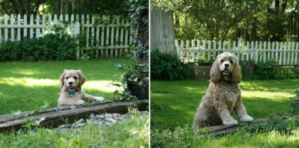 大きくなるわんこ!成長する愛犬のビフォーアフター画像! (1)