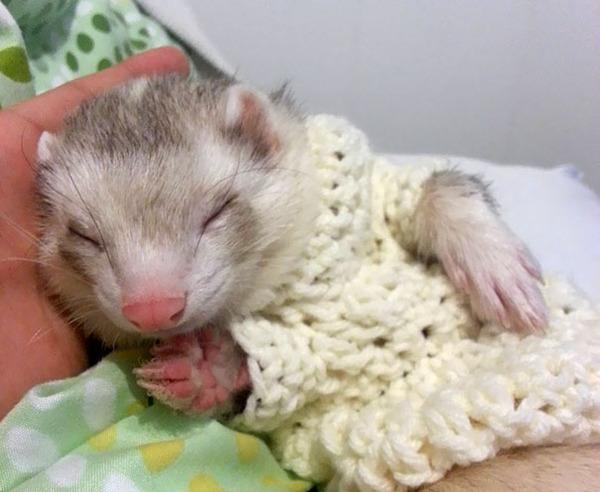寒いからニットのセーターを小動物に着せてみた画像 (26)