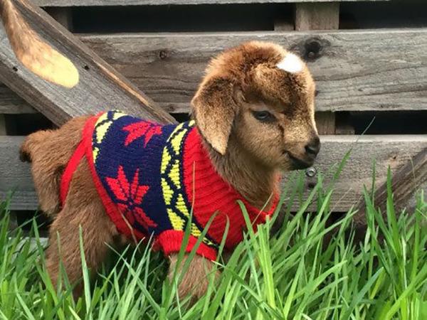 寒いからニットのセーターを小動物に着せてみた画像 (14)
