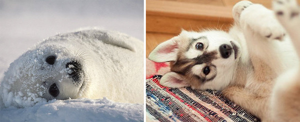 アザラシって犬そっくりじゃね?犬とアザラシを比較画像! (17)