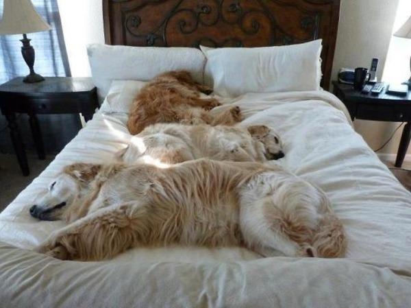 ベッドで寝る犬 かわいいおもしろ画像 11