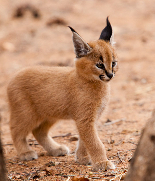 カラカルの画像!麻呂眉と耳の房毛が特徴的なネコ科動物 (6)
