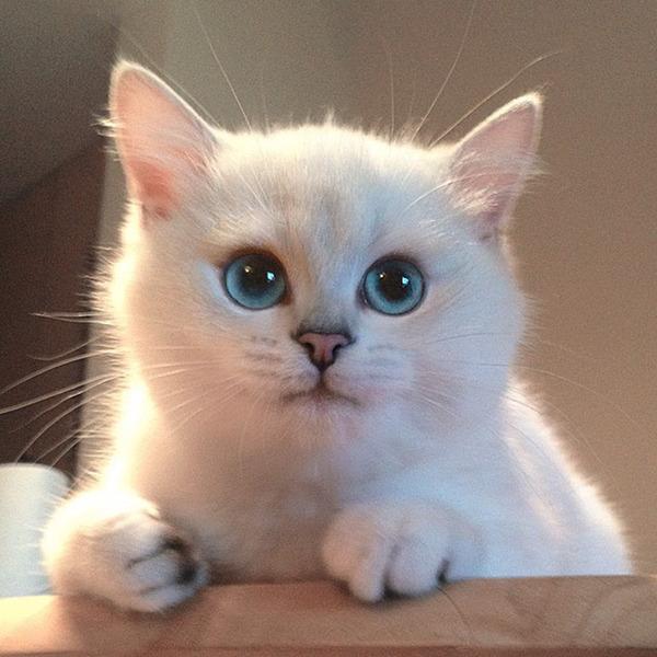 美しい…。綺麗な青い瞳をした白猫が話題!【猫画像】 (14)
