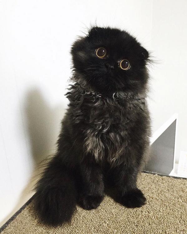 「まっくろくろすけ」みたいな黒猫画像!黒いモフモフ (7)