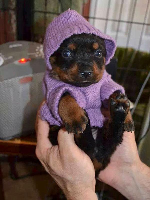 寒いからニットのセーターを小動物に着せてみた画像 (15)