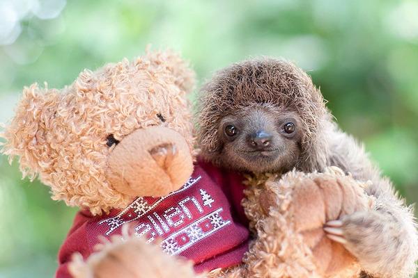 癒し系動物ナマケモノの赤ちゃんが超かわいい画像 (16)