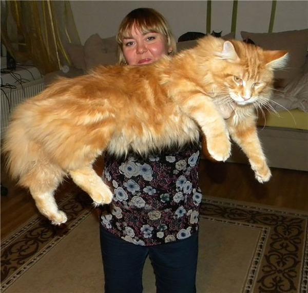 でかすぎる!大型のイエネコ長毛種メインクーン画像【猫】 (39)