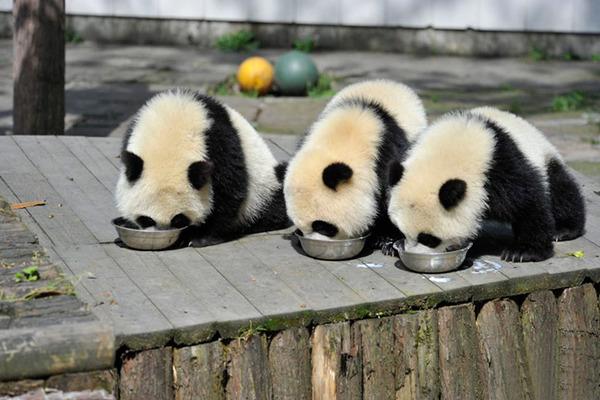 かわいいジャイアントパンダの画像 10