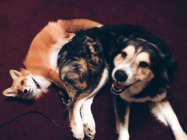 大好きすぎてこの笑顔。キツネとイヌのペットコンビ! (4)