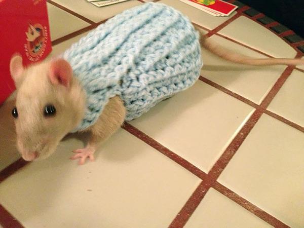 寒いからニットのセーターを小動物に着せてみた画像 (23)