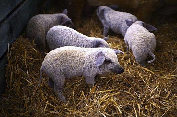 羊みたいな体毛を持った豚『マンガリッツァ』。モフモフ! (13)