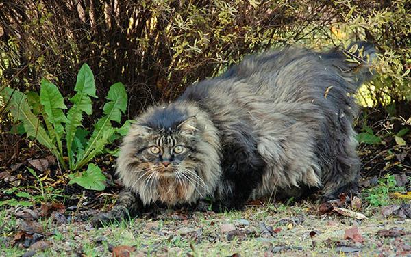 とても大きい猫の画像 21
