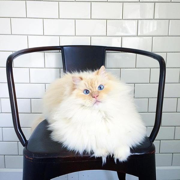 さぁモフれ!ふわふわすぎるラグドールが話題に【猫画像】 (5)